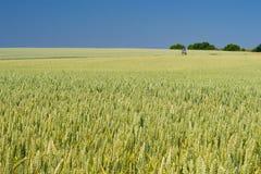 Orecchie verdi di grano, fondo di agricoltura Immagine Stock