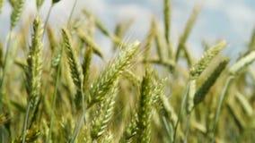 Orecchie verdi di grano sul campo stock footage