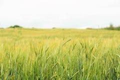 Orecchie verdi di orzo nel campo, fuoco selettivo nella priorità alta, fondo astratto del primo piano Immagine Stock