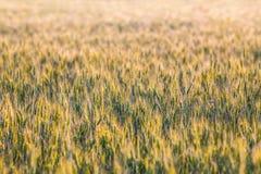 Orecchie verdi e gialle della molla fresca di grano del giacimento Immagine Stock