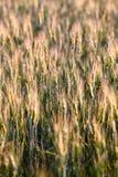 Orecchie verdi e gialle della molla fresca di grano del giacimento Fotografia Stock