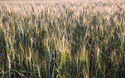 Orecchie verdi e gialle della molla fresca di grano del giacimento Fotografia Stock Libera da Diritti