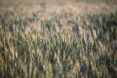 Orecchie verdi e gialle della molla fresca di grano del giacimento Immagini Stock Libere da Diritti