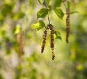 Orecchini della betulla Fotografia Stock