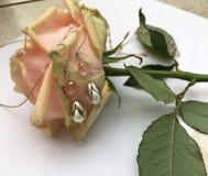 Orecchini della perla Immagine Stock