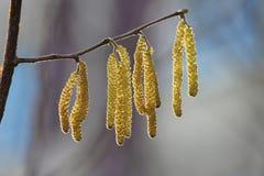 Orecchini di fioritura gialli di un alnus dell'albero di ontano in molla in anticipo Fotografia Stock