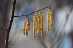 Orecchini di fioritura gialli di un alnus dell'albero di ontano in molla in anticipo Immagine Stock Libera da Diritti