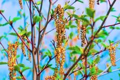 Orecchino della betulla Rene della betulla Semi della betulla fotografia stock libera da diritti