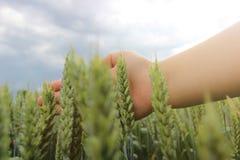 Orecchio commovente del grano della mano della donna nel giacimento di grano Immagine Stock Libera da Diritti