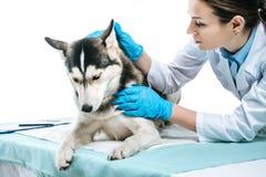 orecchio d'esame del husky del giovane veterinario femminile fotografia stock libera da diritti