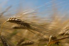 Orecchio dei cereali Fotografia Stock Libera da Diritti
