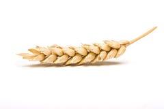 Orecchio del cereale secco Immagini Stock Libere da Diritti