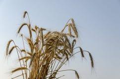 Orecchio del covone di grano nel fondo dal cielo Immagini Stock Libere da Diritti