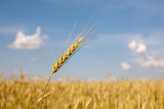 Orecchio del grano Immagine Stock Libera da Diritti