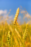 Orecchio del grano Fotografia Stock Libera da Diritti