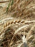 Orecchio del grano Fotografia Stock