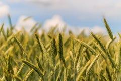Orecchio del grano Fotografie Stock