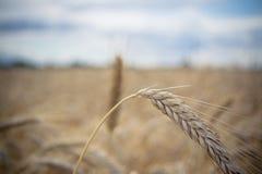 Orecchio del grano Immagini Stock
