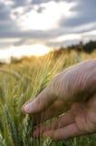 Orecchio del grano della tenuta Fotografia Stock Libera da Diritti