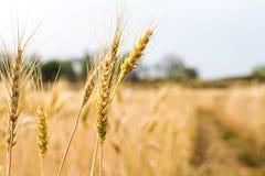 Orecchio del grano nel campo Fotografie Stock