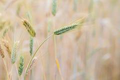 Orecchio del grano nel campo Fotografie Stock Libere da Diritti