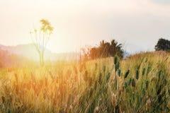 Orecchio del grano nel campo con il chiarore del sole Fotografia Stock Libera da Diritti