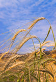 Orecchio del grano sul campo e della nuvola nel cielo Immagini Stock