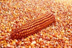 Orecchio del mais nel mucchio del grano del cereale Fotografia Stock Libera da Diritti