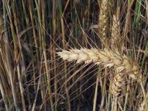 Orecchio del primo piano del grano Immagine Stock