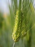 Orecchio del riso Fotografie Stock Libere da Diritti