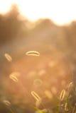 Orecchio del tramonto backlit grano in un campo di erba in campagna i fotografie stock libere da diritti