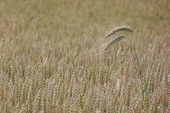 Orecchio dell'avena in un campo di grano Fotografia Stock