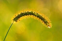 Orecchio dell'erba verde Immagini Stock