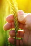 Orecchio della tenuta dell'agricoltore del raccolto del grano Fotografia Stock