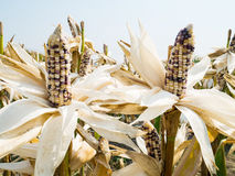 Orecchio di cereale cereo nel campo di grano Immagini Stock