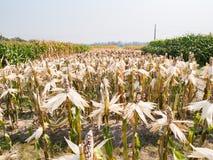 Orecchio di cereale cereo nel campo di grano Fotografia Stock