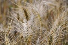 Orecchio di grano Immagini Stock Libere da Diritti