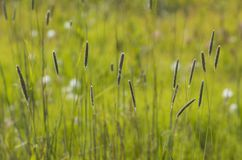 Orecchio di grano fotografia stock