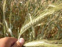Orecchio di grano Fotografia Stock Libera da Diritti