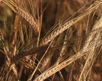 Orecchio di grano Immagine Stock