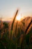 Orecchio di grano immagine stock libera da diritti