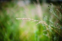 Orecchio di grano su un prato Fotografia Stock Libera da Diritti