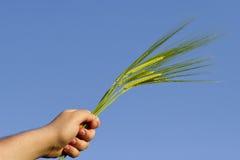 Orecchio di grano tenuto in mano Immagine Stock Libera da Diritti