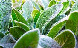 Orecchio di Herb Lambs Fotografie Stock
