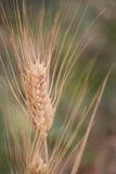 Orecchio di maturazione di grano Fotografia Stock Libera da Diritti