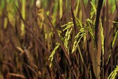 Orecchio di risaia nel fondo del campo Prodotto economico principale di agricoltura della Tailandia Immagini Stock