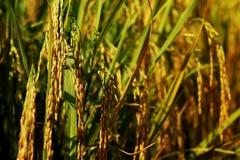 Orecchio di risaia nel fondo del campo Prodotto economico principale di agricoltura della Tailandia Immagine Stock Libera da Diritti