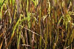 Orecchio di risaia nel fondo del campo Prodotto economico principale di agricoltura della Tailandia Immagini Stock Libere da Diritti