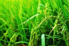 Orecchio di risaia nel fondo del campo Prodotto economico principale di agricoltura della Tailandia Fotografie Stock