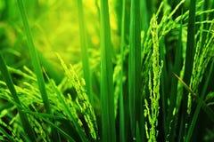Orecchio di risaia nel fondo del campo Prodotto economico principale di agricoltura della Tailandia Fotografia Stock Libera da Diritti